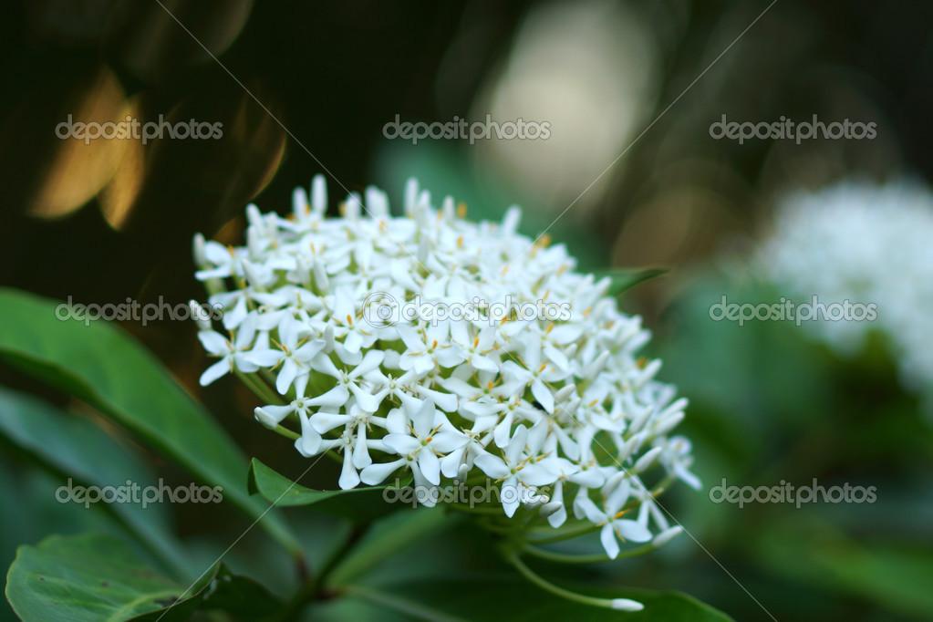 Very fragrant white flowers name Siamese white ixora. — Stock Photo ...