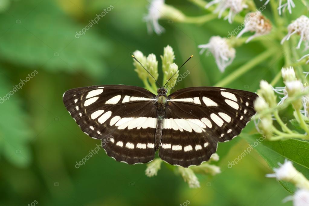 Papillon Sur Sailor Commune De Nom Fleur Blanche Photographie