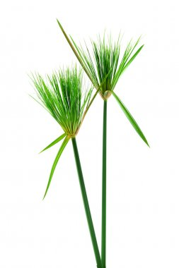 Egyptian papyrus. (Cyperus papyrus L.)