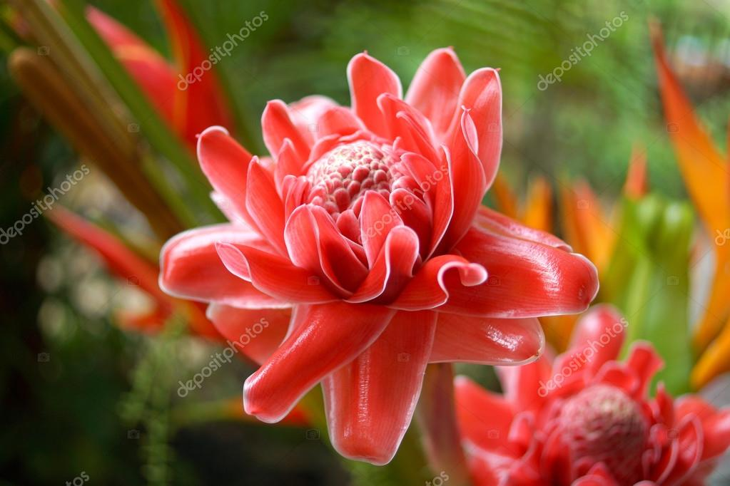 Fleur Rouge Tropique D Etlingera Elatior Photographie Noppharat Th