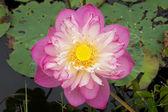 růžový krásný Lotosový květ. buddhistické náboženský symbol