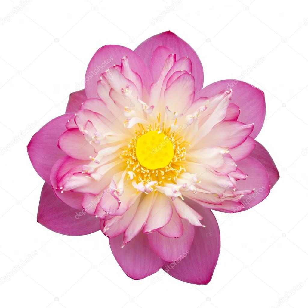 Pink Beautiful lotus flower. Buddhist religious symbol.