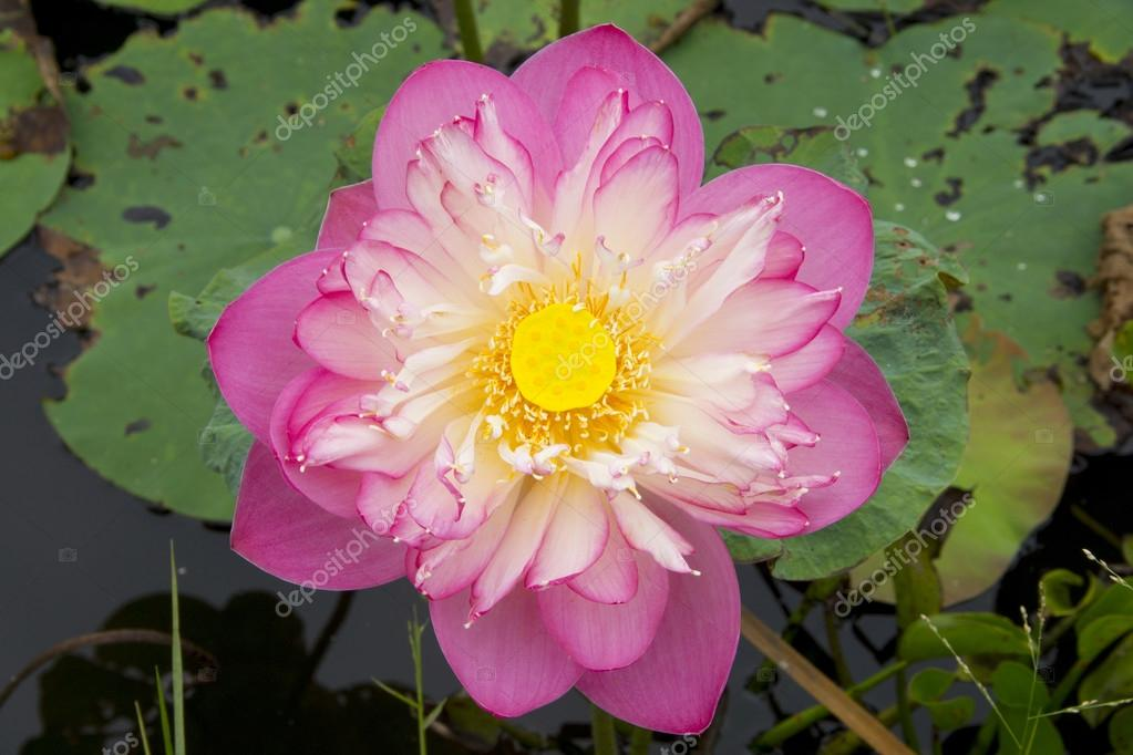 Pink beautiful lotus flower buddhist religious symbol stock pink beautiful lotus flower buddhist religious symbol stock photo mightylinksfo