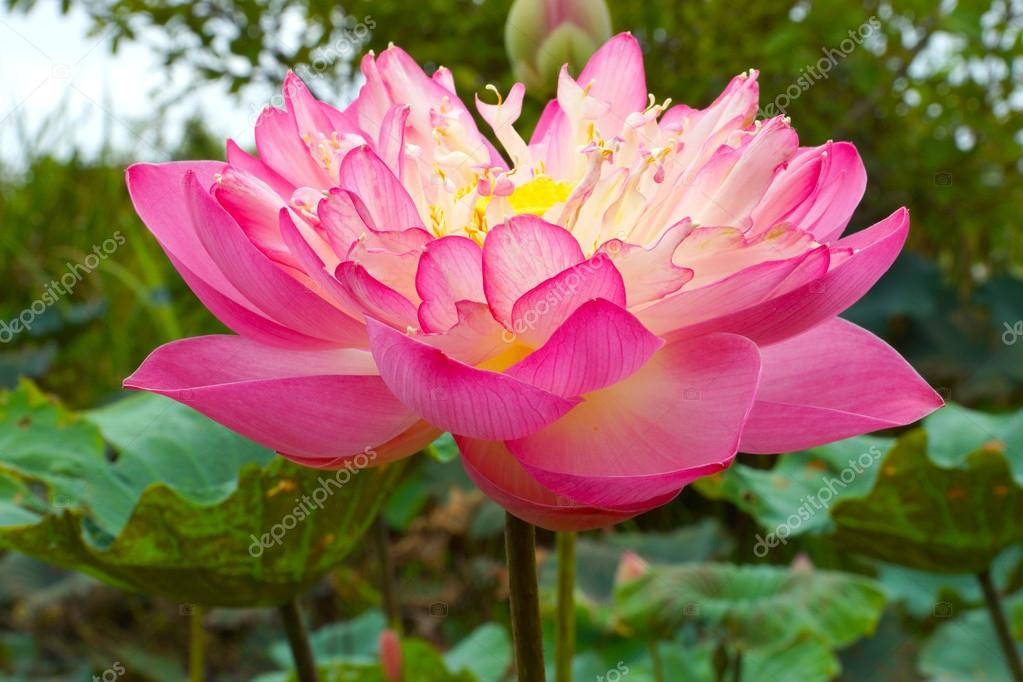 Pink beautiful lotus flower buddhist religious symbol stock pink beautiful lotus flower buddhist religious symbol stock photo mightylinksfo Choice Image
