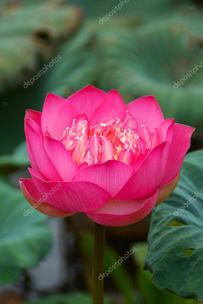 Flor De Loto Rosa Hermosa Símbolo Religioso Budista Fotos De