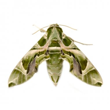 Oleander Hawk moth (Daphnis nerii) isolated on white