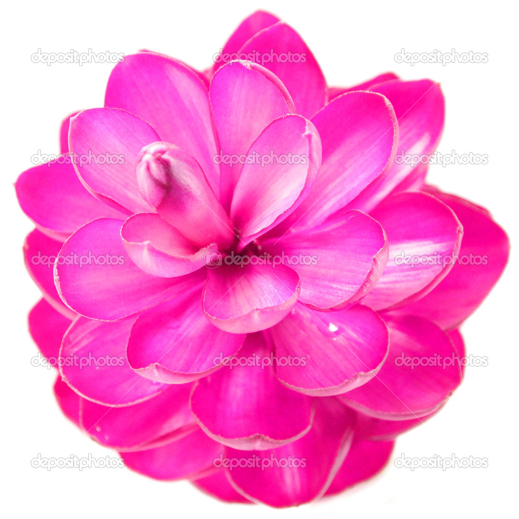 Pink Ginger Flower Stock Photo Noppharatth 37688017