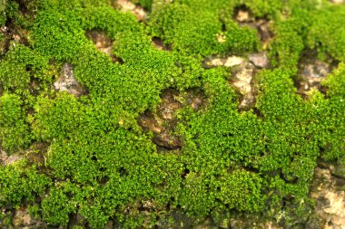 wood covered with moss. background