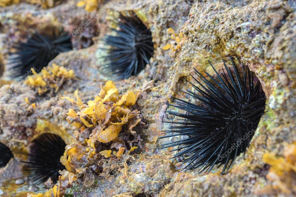 Rocky nest of sea -urchins and Seaweed (Sargassum sp.).