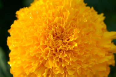 Macro pictuer of Marigold in the garden.