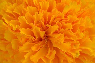Macro pictuer of Marigold in the garden.