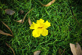 Photo Yellow flowers on the grass. (Tabebuia argentea Britt.)
