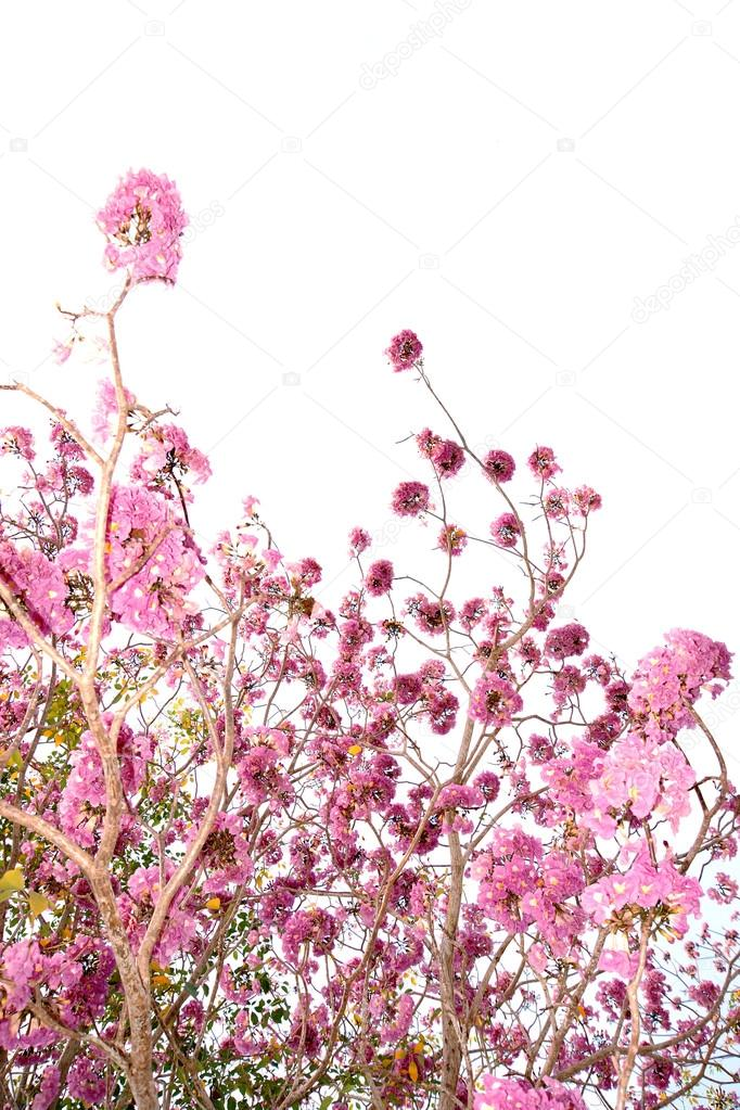 Pink trumpet tree flower blooming