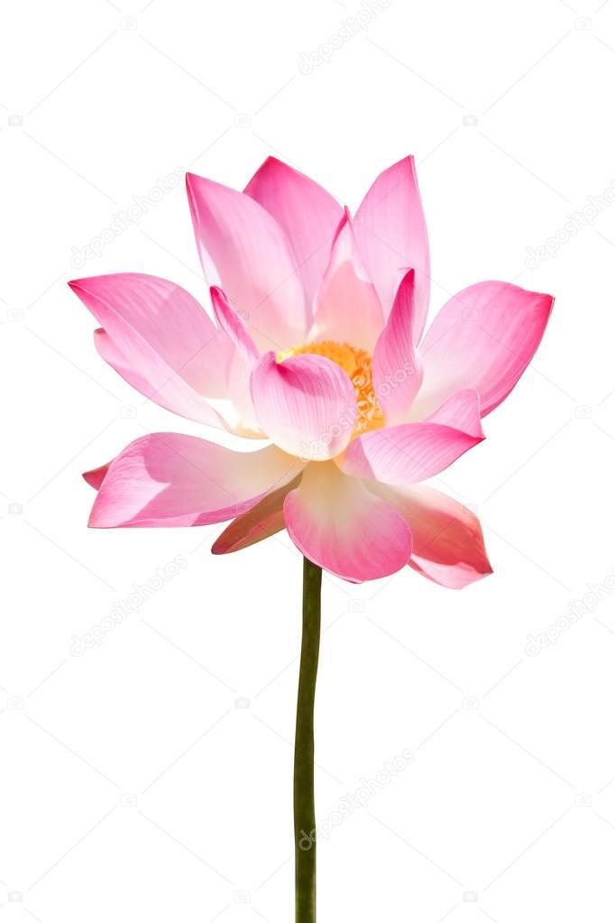pink lotus flower blooming in the garden.