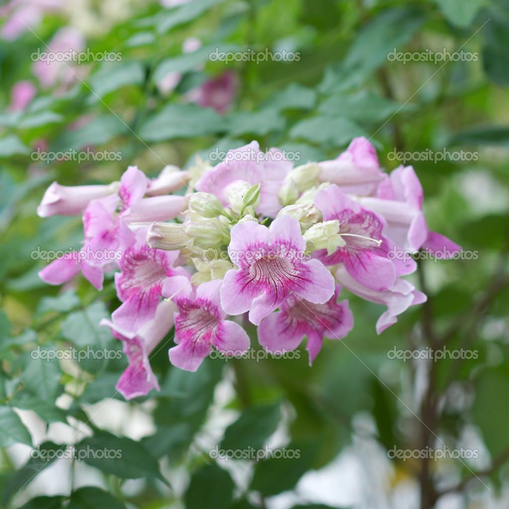 Pink Trumpet Vine Flower Stock Photo Noppharatth 49243167