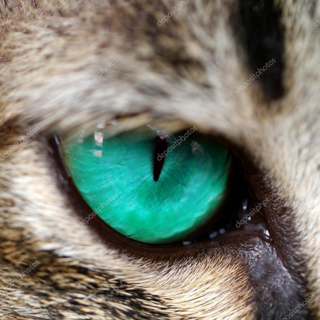 Kot Niebieskie Oczy