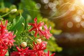Rangún liána květina v zahradě