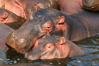 Hippo Mother and Calf