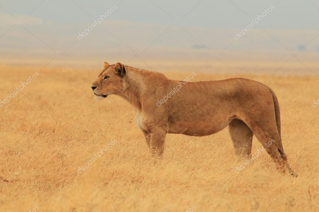 Scouting Lion