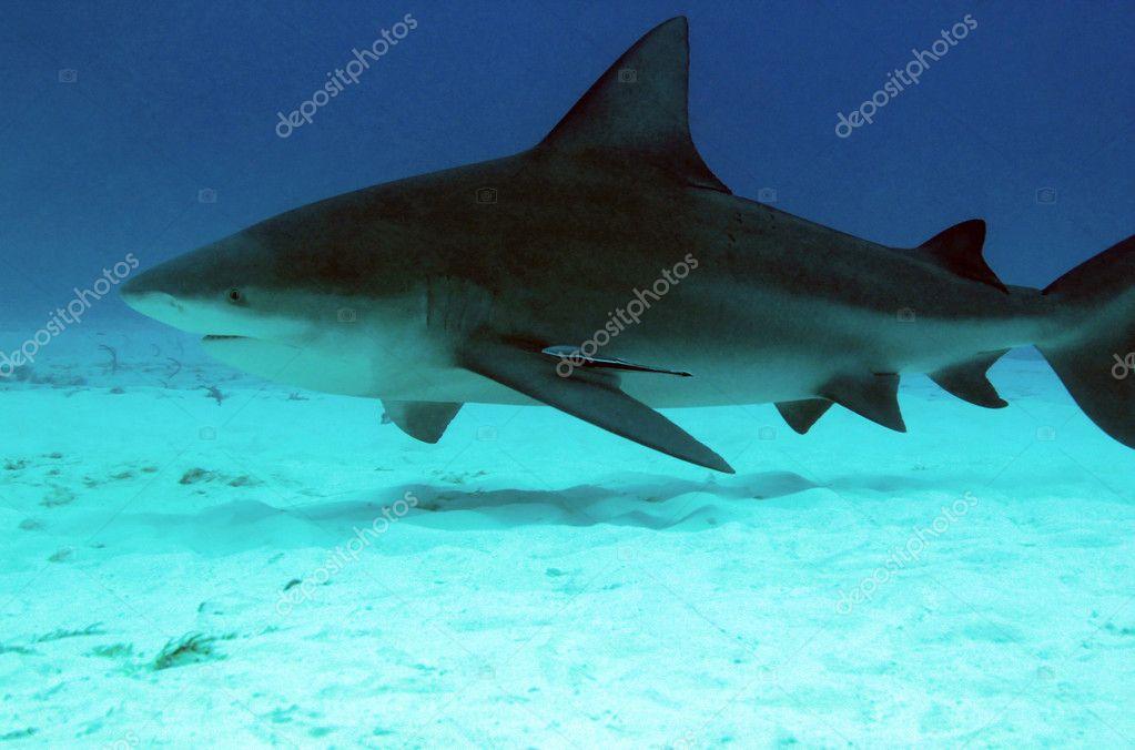 White Shark - Five Most Dangerous Sharks to