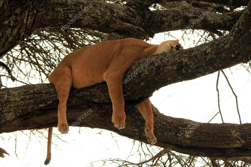 Lion Sleeping on a Branch in a Tree