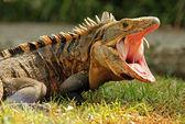 Photo Black Ctenosaur
