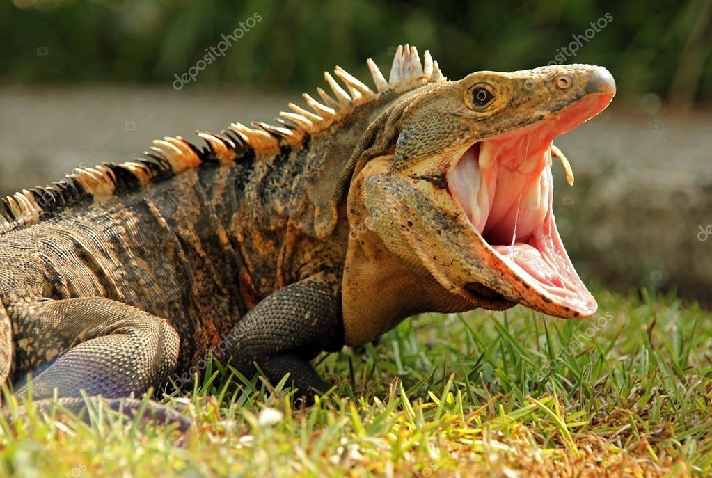 Black Ctenosaur
