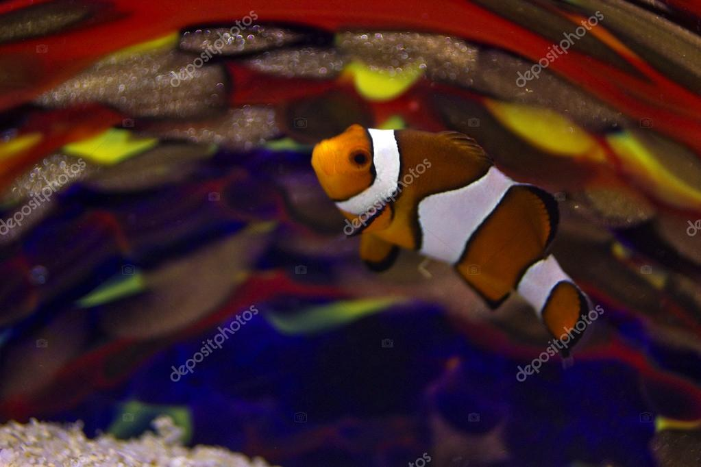 Clownfish against colored glass