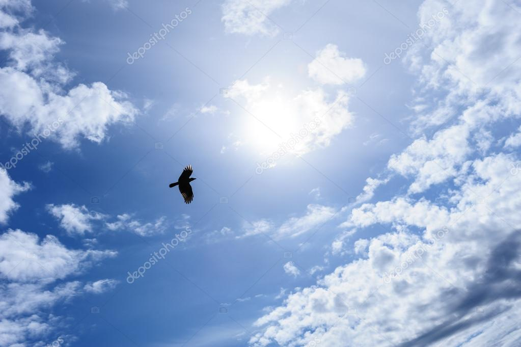 Raven or crow in the blue sky