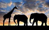 sloni s žirafou