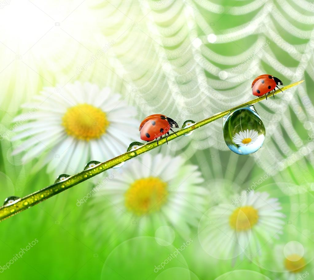 Dew and ladybird