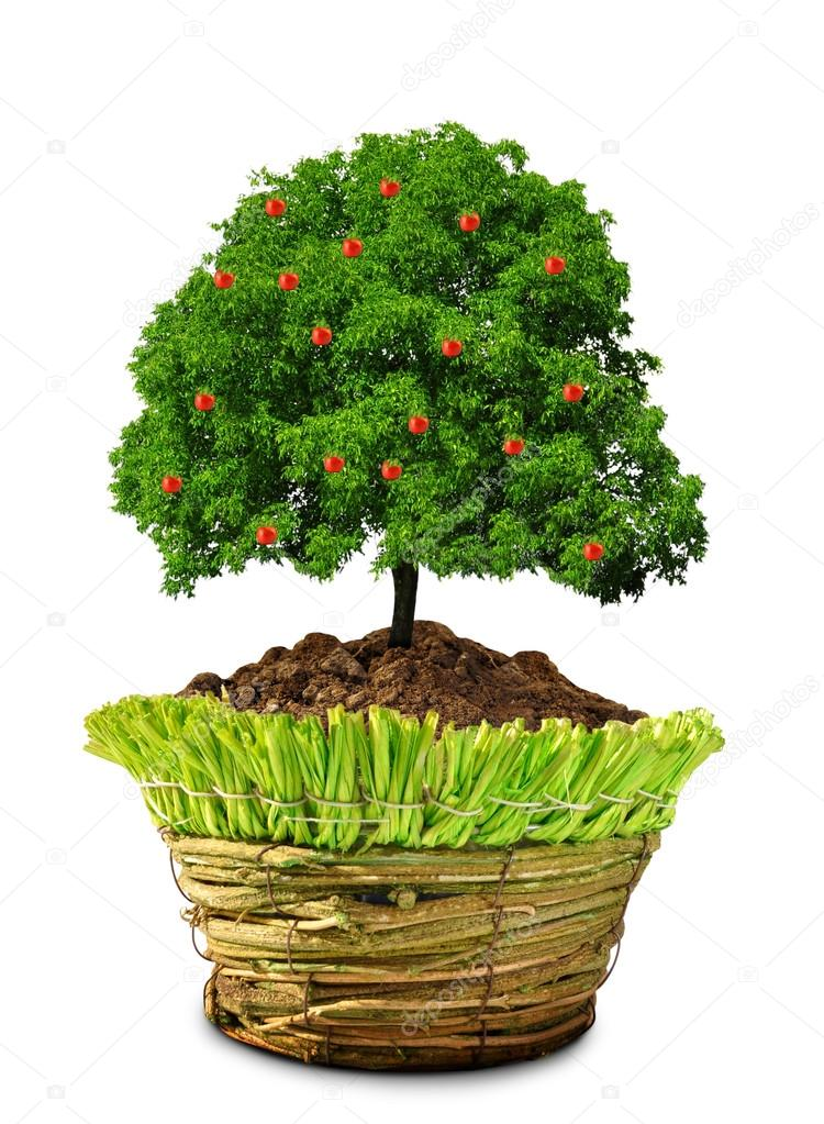 apfelbaum im topf wachsen stockfoto vencav 13845763. Black Bedroom Furniture Sets. Home Design Ideas