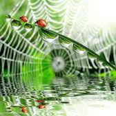 Photo Dew and ladybird