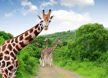 Giraffes in Kruger park South Africa stock vector