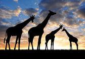 Fotografia branco di giraffe