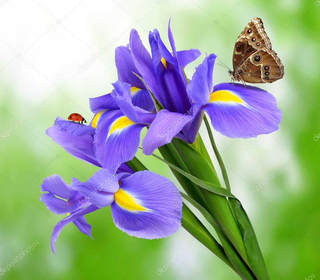 Purple Iris Flower With Butterfly U2014 Stock Photo