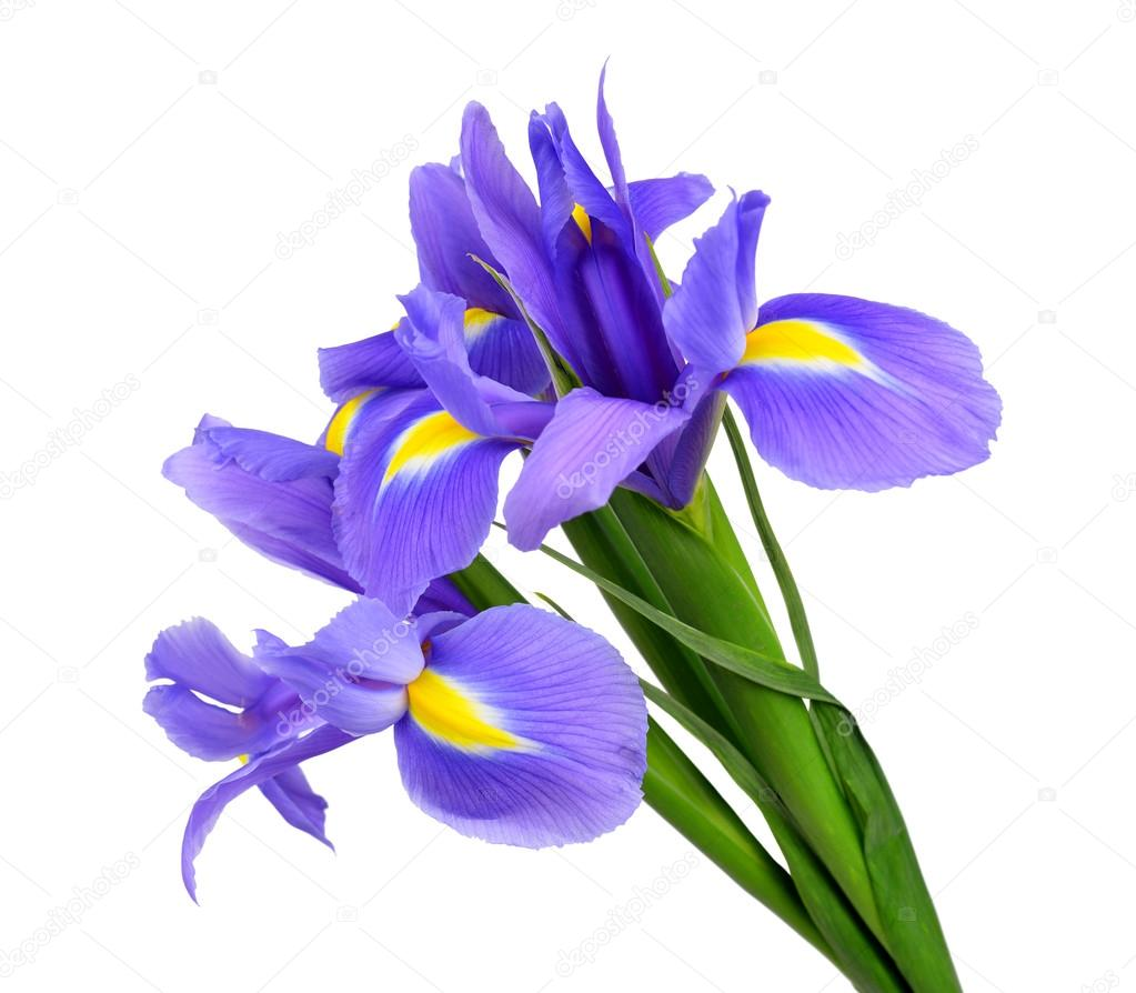 Purple iris flower stock photo vencav 25375695 purple iris flower stock photo izmirmasajfo Image collections