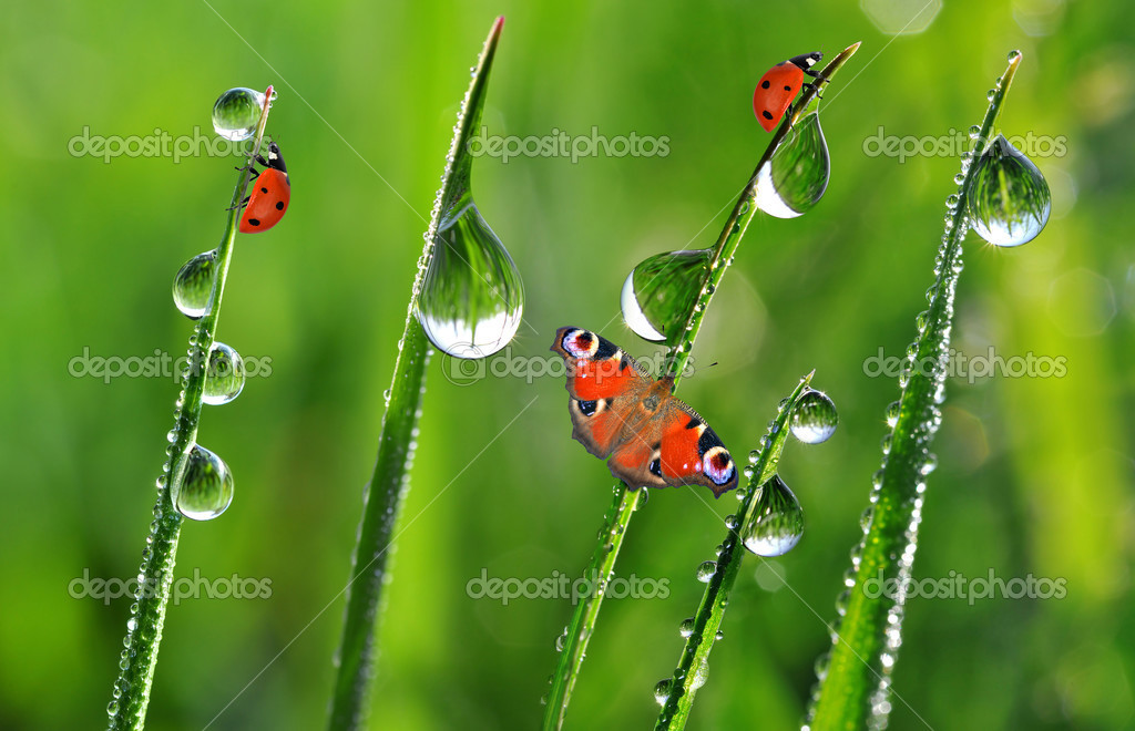 Morning dew with ladybirds and butterfly