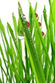 Photo Dew and ladybirds