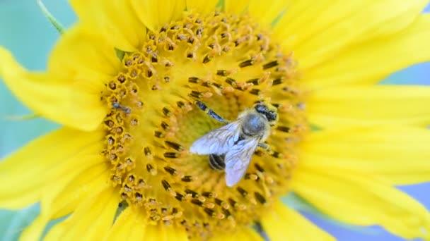 mézelő méh a napraforgó