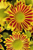 Red yellow chrysanthemum
