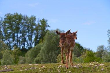 Grazing deer on a hill