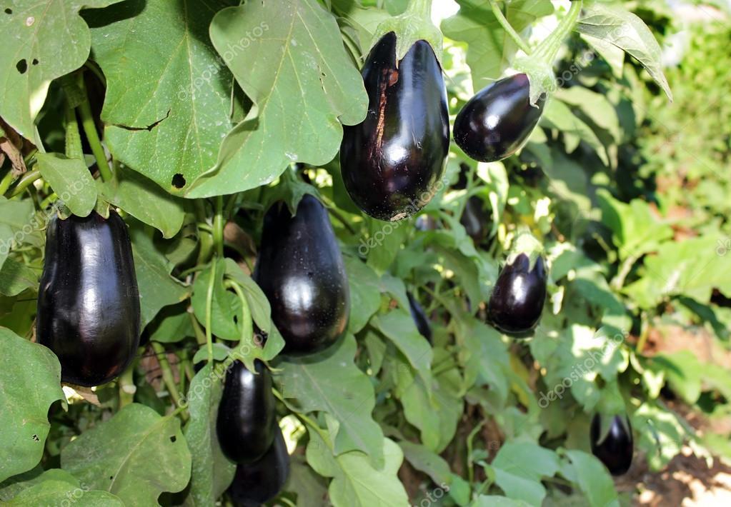 Ripe purple eggplants growing on the bush