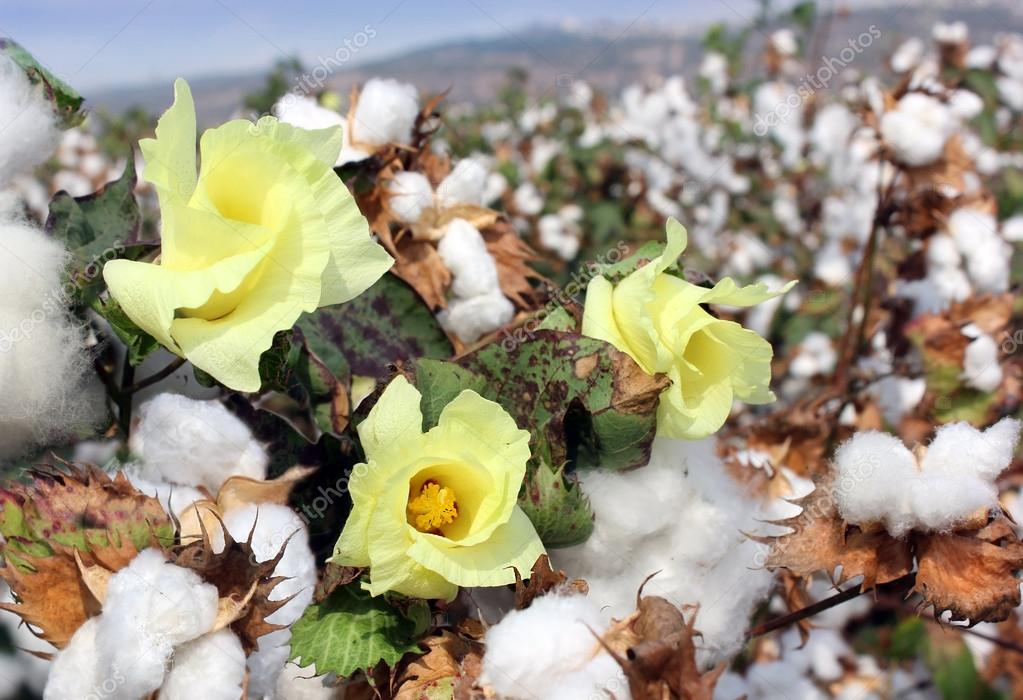 Cotton ready for harvesting