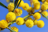 Fotografie Fluffy balls of blooming mimosa