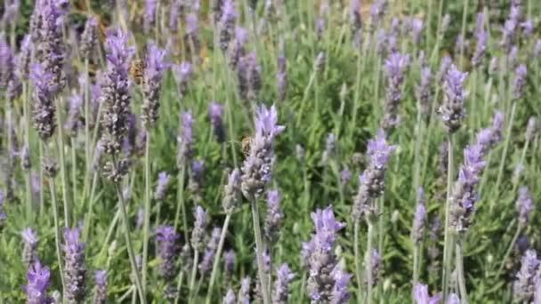 včelí sbírání nektaru
