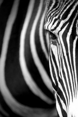 Grevy's zebra close up.