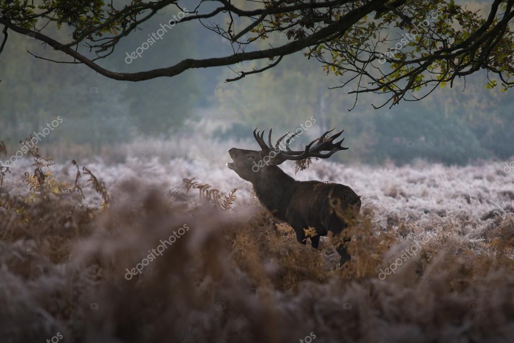 Red deer in a misty morning