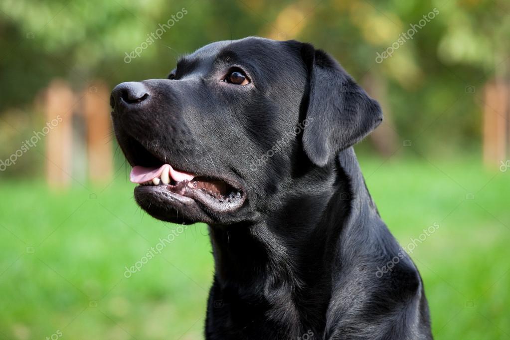 Beautiful black labrador retriever
