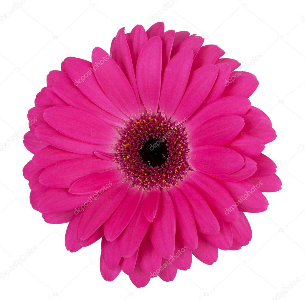 Large purple flower gerbera